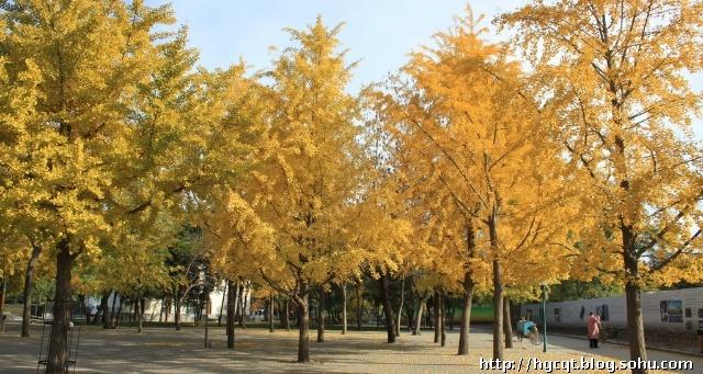 北京钓鱼台国宾馆东、南墙外有两排高大的银杏,每年秋天,树叶由绿变黄,落叶一地,引得游人拍客蜂拥踏来,男的女的老的少的喜笑颜开,捡银杏的,拍照的,锻炼的,尽赏美景,尽情娱乐。 2010年11月1日,从北三环中路乘车到阜成路,发现这两条路上的银杏树也很迷人。在钓鱼台东、南墙外一路拍摄,不知不觉就走到了玉渊潭公园的东门,穿过公园,发现公园里也是处处秋色诱人。 北京秋天的脚步越来越响,已经快到结束的时候了,冬天就要来临,就像夕阳一样,北京的秋天发出了最后的、最美的响声。
