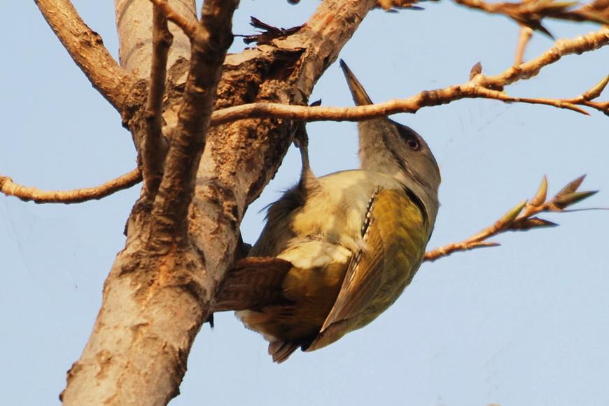 走进鸟类世界--灰头绿啄木鸟
