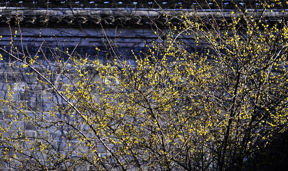 月湖,月岛公园.寒冬的季节,腊梅开了,春天也就快到了.