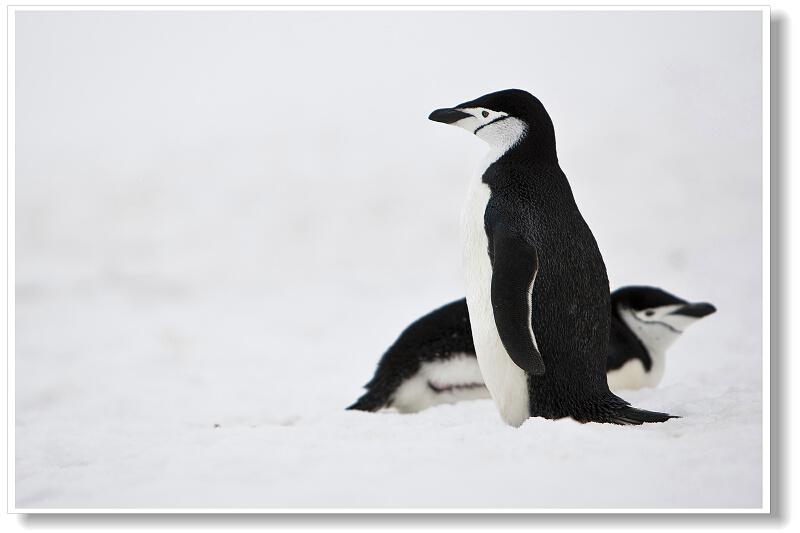 黑白的羽毛西装对企鹅而言不仅是可爱