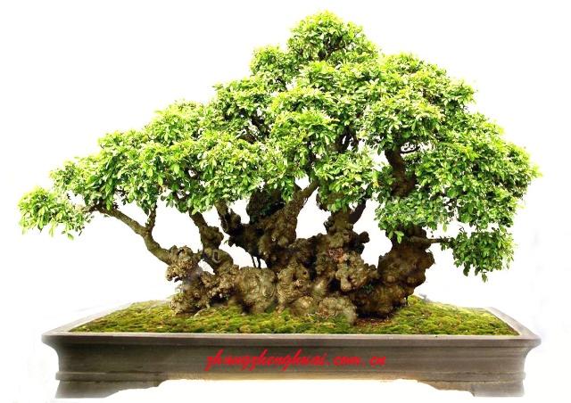 树桩盆景图片