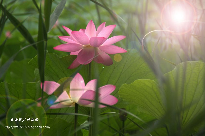 2011荷花2 梦幻荷塘 原创照片