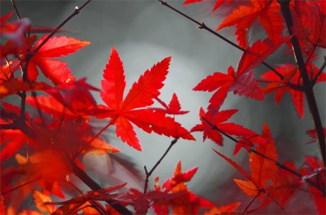 枫叶的剪法步骤图片