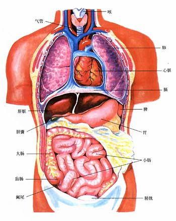 人体五脏六腑图解_人体的五脏六腑是指什么