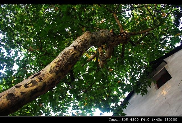 古话说,家有梧桐树,引来金凤凰.可见,梧桐树是吉祥之树.
