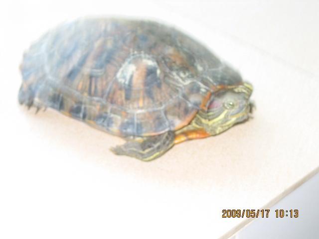 没事的时候去逗逗这只乌龟觉得满有趣的.