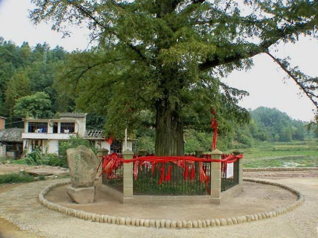 """這顆被稱為""""天下第一杉""""的水杉樹,歷來是当地土家族苗族人民顶礼膜拜的神树。 從前人們在树下建有一个小庙,供奉着一尊菩萨石像。随着岁月的流逝,石像就与大树慢慢长在了一起,菩萨与树合二为一,當地土家人就更是确信這是一顆神樹。 老人们传说,日本鬼子打到野三关却进不了恩施,是因為這顆神樹的保护。 當地人講,毛泽东、周恩来、邓小平长辞人世,這顆樹都以哭干一根粗枝来寄托她的哀思。 總之人们的心目中,她是有灵性的,是庇佑众生的神树。 無數信男善女跪倒在神樹的脚下,他们怀着美好的希望而来,满载幸福"""