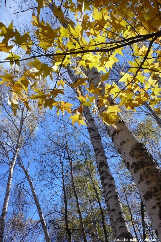 上图:橡树叶          上图:逆光效果展示,白桦树脚一小片叶