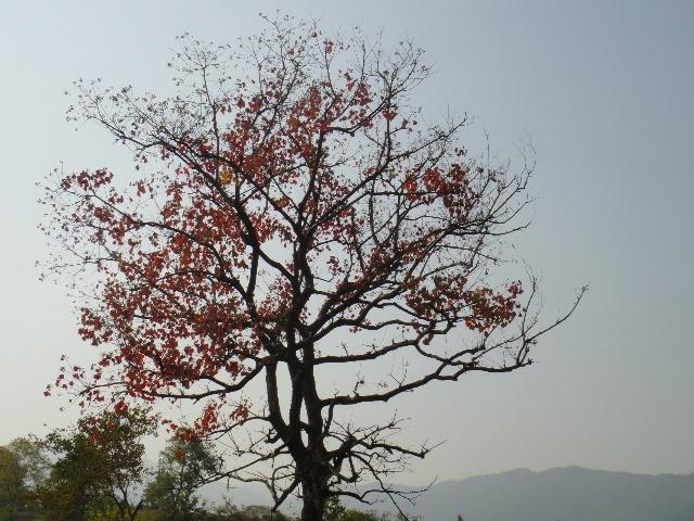 乌桕树的叶子,就要红透了,就要脱落了.