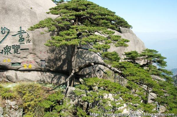 这样的松树就使得黄山松和其他名山的松树有了本质上