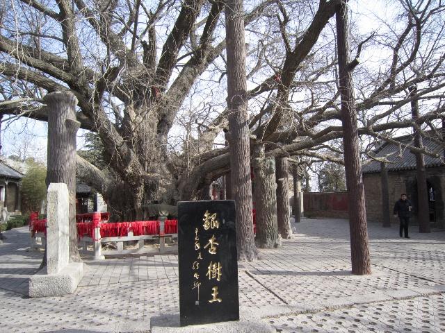 2011-1-9 山东日照 莒县 浮来山风景区 (天下银杏第一