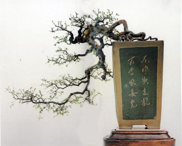 榆木盆景的养护