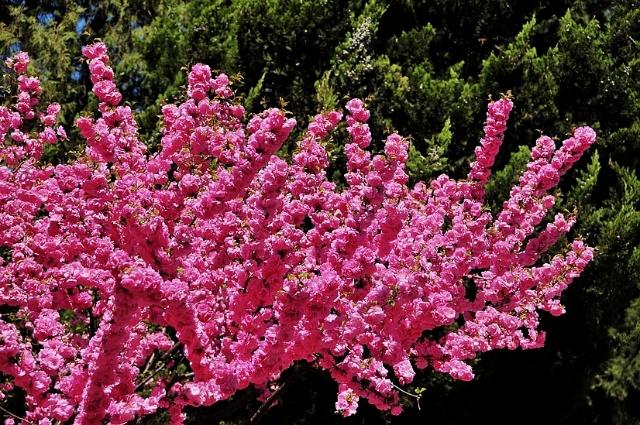 随着迎春花的开放,其它花种也相继开放