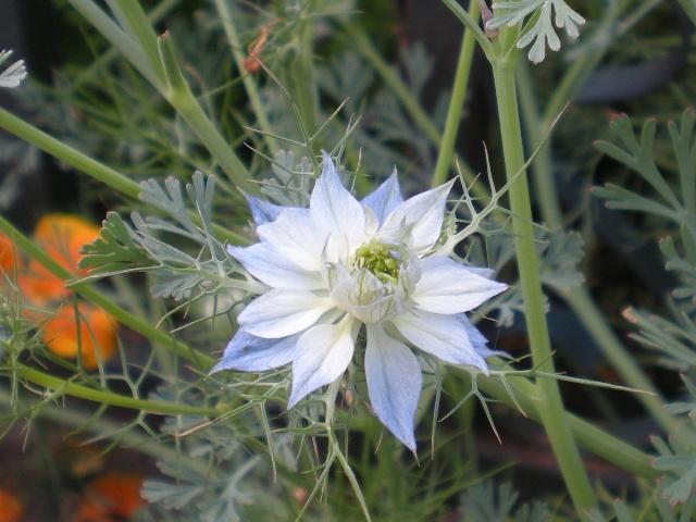 love-in-a-mist或黑种草是一种一年生的植物,不要以为一年生的花卉每年都要播种很麻烦,很多一年生的植物都能够自播,基本不需要管理,最多就是间苗而已,把多余的苗子拔掉。一个狭长的地带在设计种植时,往往有很多的花卉,原则上既要有一年生的,还要有宿根花卉,一些球根花卉花期很早,也值得考虑进去,如郁金香,黄水仙,风信子等。